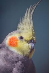 The Superhero (satochappy) Tags: parrot australian aviary cockatiel superhero auburnbotanicgardens sydney nsw australia