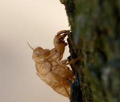 Spain, La Senia (balavenise) Tags: spain senia exuvie cigala carapace cigale vie