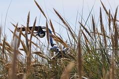 Verstopt / Hide (wilma HW61) Tags: grassen halmen duinhalmen duneculms chaumesdunaires dnehalmen culmidune fietsstuur stuur manubrio guidon lenker bicyclesteer hide verstopt katwijkaanzee zholland zuidholland nederland niederlande natuur nikond90 nature netherlands holland holanda pasesbajos paesibassi paysbas europa europe outdoor wilmahw61 wilmawesterhoud