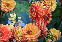 Dalie (ninin 50) Tags: dalie nature fiori ninin