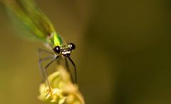 questione di sguardi... (andrea.zanaboni) Tags: occhi eyes nikon macro libellula dragonfly verde green insetti insects