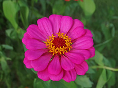 DSC00511 (gregnboutz) Tags: flower bloomingflowers flowers bloomingflower brightflowers gardenflowers macroflower macroflowers