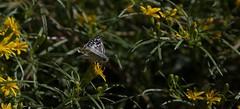Down Day (harefoot1066) Tags: asteraceae pectis pectisangustifolia lemonscentedchinchweed lepidoptera papilionoidea hesperiidae pyrginae pyrgus pyrgusalbescens whitecheckeredskipper