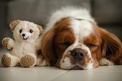 Best friends// Mejores amigos (Mireia B. L.) Tags: dog cavalierkingcharlesspaniel cavalierkingcharles perro dreamingdog sleepingdog perrosoando perrodurmiendo gos teddybear ositodepeluche cute