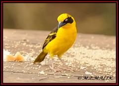 BAGLAFECHT WEAVER (PLOCEUS BAGLAFECHT)......NAIROBI NAT. PARK......OCT 2011 (M Z Malik) Tags: nikon d3x 200400mm14afs kenya africa safari wildlife nairobinatpark exoticafricanwildlife exoticafricanbirds ngc npc