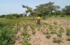 Sep 2016 Salume's unimproved land (right) and land (left) improved by planting lablab (Foods Resource Bank) Tags: maize soil yields kitchen garden goats income jack bean lablab humanitarian food security women self help group fertility