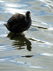 Young Coot (Cornishcarolin. Thank you everyone xxxx) Tags: cornwall falmouth swanpoolfalmouth nature birds coot