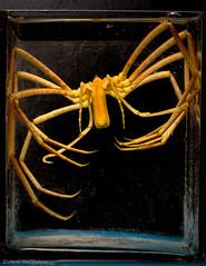 Sea spider 1 (Elvar H) Tags: arcticocean helmerhansen jermak siarctic bentos havedderkop seaspider