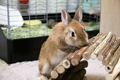 ICHIGO san 382 (mensore) Tags: rabbit bunny netherlanddwarf brown cute pet family ichigo