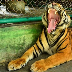The yawning tiger (Ormastudios) Tags: instagramapp square squareformat iphoneography uploaded:by=instagram tiger thailang kingdom