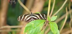 Zebra Longwing (Bogger3.) Tags: zebralongwing stratforduponavon butterflyfarm dof canon600d canon18x135lens