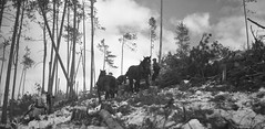 Winter Camp Operations, 1953 (TBayMuseum) Tags: logging forestry pulppaper horses animals outdoors winter labour labourhistory thunderbay ontario canada history