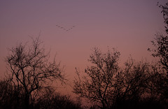 There's always one who messes it up... (Michelle Tuttle) Tags: different unique birds bird formation sunset southafrica africa trees sillouette purple red orange beautiful peaceful