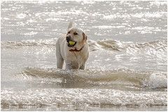 Golden Labrador (tina777) Tags: dog canine beach sea ocean waves ball barry island wales