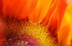 stamens and petals (TaglessKaiju) Tags: closeup flower sunflower petals yellow orange stamen