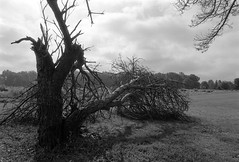 Fallen Tree (Dalliance with Light) Tags: davidsonsmillpondpark landscape tree nature trix zeissplanartf14zf fallen diafine scans bw nikonfm2 iso1250 dead northbrunswicktownship newjersey unitedstates us