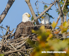 Bald Eagle pair at the NJ shore (Mike Black photography) Tags: bald eagle pair nest nesting nj new jersey shore belmar shark river canon 5dsr 600mm f40 ii lens is usm l sky black white yellow