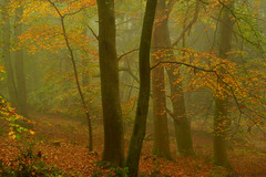Autumn Beechwoods, Exmoor, UK (EmPhoto.) Tags: sonya7r sonyzeiss2470mm autumn beechwood nature landscape forest exmoor landscapepassion emmiejgee deciduous misty