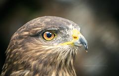 Animal Kingdom 003 - Bird, Hawk (IP Maesstro) Tags: hawk falcon eagle bird animal nature ipmaesstro planet