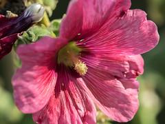 Fini l't... (NT) Tags: nature proxi macro fleur flower flowers fleurs olympus omd em1 zuiko 40150 40150mm sun summer t soleil