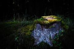 in the spotlight (JayPiDee) Tags: baumstumpf deutschland germany licht sachsenwald schleswigholstein wald forest light spotlight stub treestump woods forstgutsbezirksachsenwald