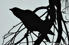 Jackdaw (tinlight7) Tags: jackdaw bird black silhouette istanbul turkey taxonomy:kingdom=animalia animalia taxonomy:phylum=chordata chordata taxonomy:subphylum=vertebrata vertebrata taxonomy:class=aves aves taxonomy:order=galliformes galliformes taxonomy:family=phasianidae phasianidae taxonomy:genus=meleagris meleagris taxonomy:species=gallopavo taxonomy:binomial=meleagrisgallopavo dindonsauvage meleagrisgallopavo wildturkey guajolotenorteño americanturkey witu peru taxonomy:common=dindonsauvage taxonomy:common=wildturkey taxonomy:common=turkey taxonomy:common=guajolotenorteño taxonomy:common=americanturkey taxonomy:common=witu taxonomy:common=peru