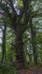 the aged grace of an old oak tree - HTT! (lunaryuna) Tags: england wiltshire langleywood newforest ancientoakforest forest woods forestinterior tree oaktree treemendoustuesday htt treetrunk foliage ancienttree beauty lunaryuna