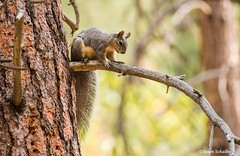 Bushy tailed squirrel (Photosuze) Tags: squirrels animals nature rodents tree westerngraysquirrels threatened wildlife