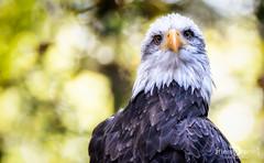 Falknerei Bergisch Land 050 (flashlens_ek2012) Tags: adler eagle weiskopfseeadler
