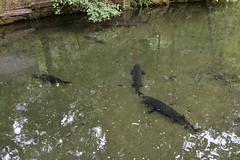 Columbia River Gorge - Bonneville Dam - Fish Hatchery - Sturgeon (jrozwado) Tags: northamerica usa oregon columbiarivergorge bonneville dam hatchery fish sturgeon nationalscenicarea nationalhistoricdistrict