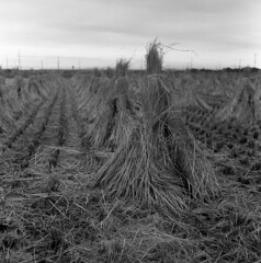 Drying stalks (odeleapple) Tags: mamiya c330 mamiyasekor 65mm neopan100acros film bw rice stalk paddy field