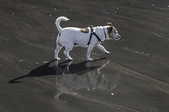 Dog, Shadow, Reflection - 52 Weeks For Dogs, 41/52 (me'nthedogs) Tags: 52weeksfordogs 4152 snaps terrier jackrussell jrt beach shadow reflection