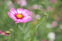 OMD06571 (Keishi Etoh rough-and-ready photoglaph) Tags: flower olympus omd em1 olympusomdem1 microfourthirds meyeroptikgrlitzdomiplan50mmf28 100mm meyeroptik domiplan mf manualfocuslens primelens fixedfocallengthlens oldlens m42
