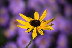 Yellow on Purple (Barry Potter (EdenMedia)) Tags: barrypotter edenmedia nikon d7200 rudbeckia michaelmasdaisy