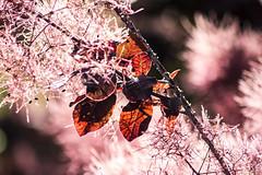 LA NATURA SI VESTE DI ROSSO. (FRANCO600D) Tags: autunno colori foglie arbusto coloridellautunno natura spettacolo albero rosso canon eos600d sigma franco600d bokeh luce controluce