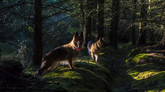 Misha & Kai Running In The Woods (Tidyshow) Tags: german shepherd bitch dog alsation pet woods trees forest moss light landscape scotland highland sony a77ii ilca77m2 1650 f28 outdoor heather scottish iso1250 kai misha
