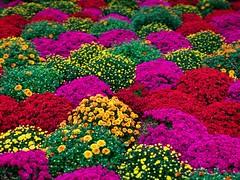 Shot on iPhone 7 Plus (maxjfry) Tags: iphone iphone7 iphone7plus shotoniphone shotoniphone7 shotoniphone7plus apple manhattan uppereastside newyork newyorkcity centralpark flowers vibrant sun