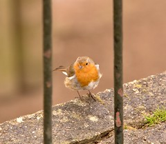 Robin behind bars he's such a criminal (paul hitchmough photography) Tags: nikonphotography wildlife bitoffun chesterzoo nature robin paulhitchmoughphotography