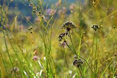 summer patterns (JoannaRB2009) Tags: summer grass green pattern plants nature closeup flora polska poland flower