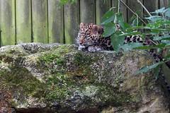 Amur leopard cubs ((Panthera pardus orientalis (Annette Rumbelow) Tags: amur leopard cubs panthera pardus orientalis amurleopardcubspantherapardusorientalis annetterumbelowwilson bigcats carnivore adorable cute outside whiskers rocks paw criticallyendangered theeuropeanendangeredspeciesbreedingprogrammeeep russianfareastandnortheastchina cubsbrothers cubsblueeyes