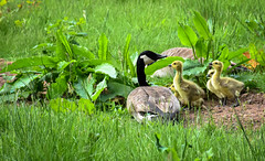 Down by the river..... (littlestschnauzer) Tags: bretton country park ysp countryside rural river walk ducklings geese goslings cute baby animals summer 2016 nature wildlife young fluffy babies parent family grass