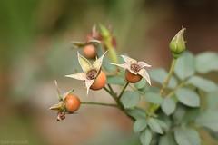 Frutos da Roseira (Bert'sPhotos) Tags: frutosdaroseira aqunio planta natureza nature 50mm