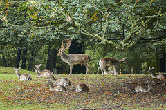 Family picnic (powerdook) Tags: deer animal antlers male forest park nature autumn fall morning resting rest famlily