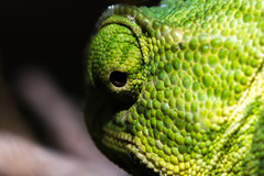 Please let me ignore you in peace (Javier balos lvarez) Tags: camaleon chameleon green macron nature summer naturaleza verde