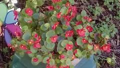 Begonias (Maenette1) Tags: begonias flowers beautiful october menominee uppermichigan