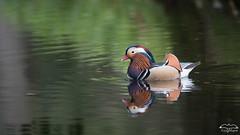 canard mandarin mâle (mirage 31) Tags: aixgalericulata anatidã©s ansã©riformes canardmandarin mandarinduck bird oiseau