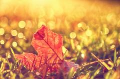 Glow (flashfix) Tags: october172016 2016 2016inphotos nikond7000 nikon ottawa ontario canada 40mm leaf grass dew morning sunlight golden bokeh nature mothernature autumn macro 2minutemacro lines