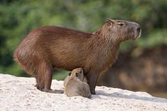 Capybara baby suckling (Tambako the Jaguar) Tags: capybara big rodent water beach sand calm suckling family young baby wildanimal wild wildlife nature pantanal matogrosso brazil nikon d5
