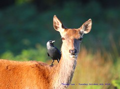 What Would You Like Done Today Miss??? (law_keven) Tags: deer reddeer richmond richmondpark london england animals birds avian jackdaw cleaningservice symbiosis symbiotic
