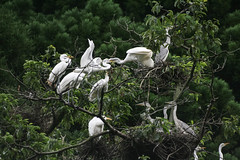 Bird Tree (Jean I Cresol) Tags: 16th july 2016 birds tree nature heron herontree nest asia hyogo japan yumura summer white